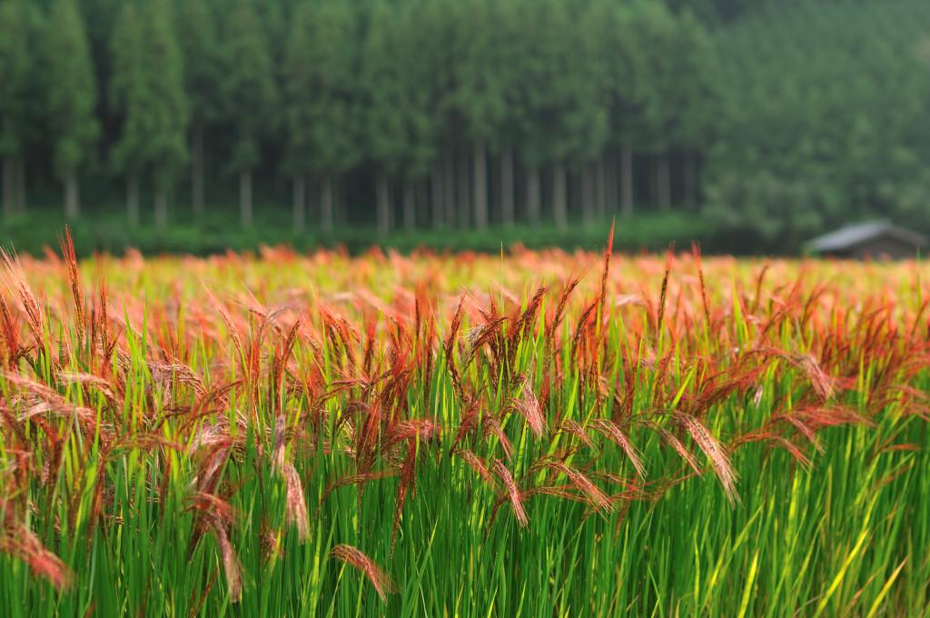 Punase riisi põld