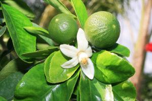 roheline mandariin
